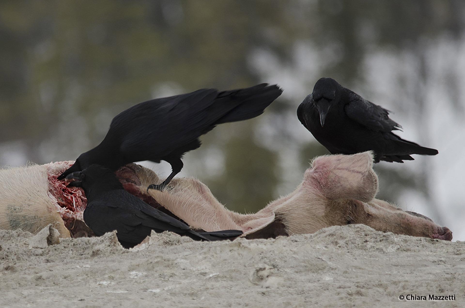 Common_Raven_Corvus_corax